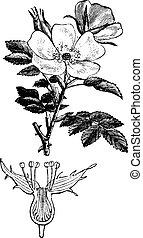Rose hips or rose haw or rose hep, vintage engraved illustration. La Vie dans la nature, 1890.