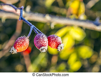 rose hips with hoar frost in winter in early morning light
