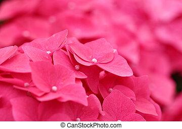 rose, hortensia, fleur