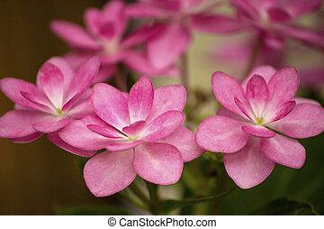 rose, hortensia, fleur, lacecap