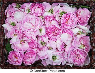 rose, huile, production., industriel, culture, de, huile, coussinet, rose