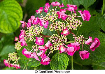 rose, hydrangea(hydrangea, lacecap, macrophylla)