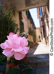 Rose in a typical street of Bolgheri