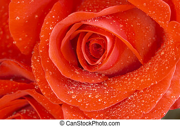 rose in macro(focus point on the center of the rose) - red...