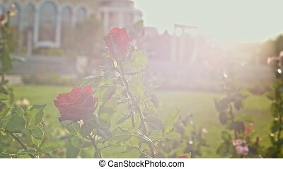 Rose in park with sun flares in slow motion