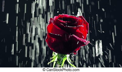 Rose in Rain - Close up of rose under pouring water against...