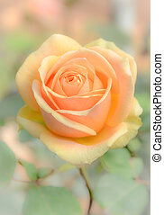 Rose in soft background
