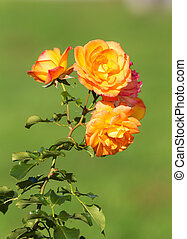 rose in the foreground