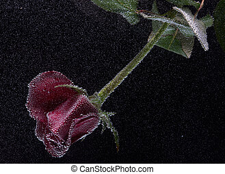 rose in the water on a black background