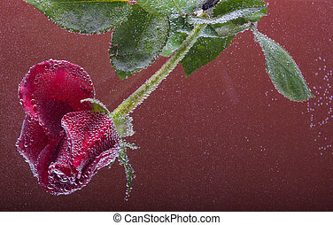 rose in the water on a brown background - Drops of water and...