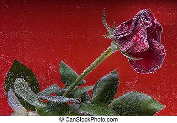 rose in the water on a yellow background - splashes of water...
