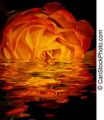 Vibrant rose blossom partially submerged in a large puddle of water with black background.