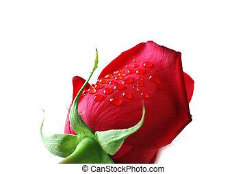 rose, isolé, blanc, gouttes, eau