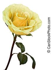 rose, isolé, jaune