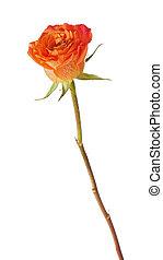 Rose isolated on white background.