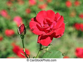 rose, jardin