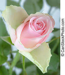 rose, jardin, rose, feuilles, vert, tiges, bourgeon