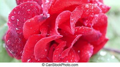 rose, jardin, rouges, 4k