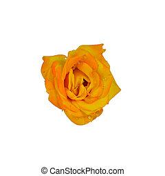 rose jaune, à, gouttelettes