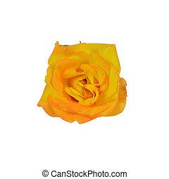 rose jaune, blanc
