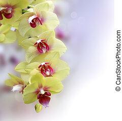 rose, jaune, orchidée