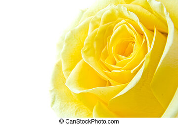 rose, jaune, pétale