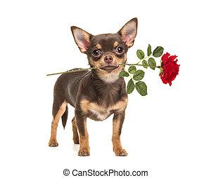 rose, joli, debout, chihuahua, rouges, brun