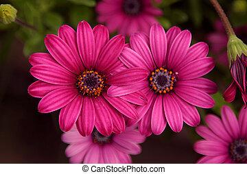 rose, jumeau, fleurs