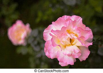 rose kwam op, backgroud, gele, groot, zacht
