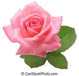 rose kwam op, bladeren