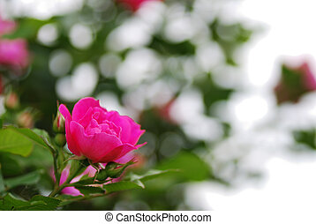 rose kwam op, bloem