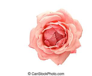 rose kwam op, bloem, vrijstaand, op wit, achtergrond