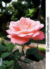 rose kwam op, close-up
