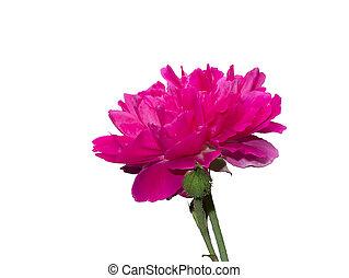 rose kwam op, damast, bloem