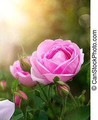 rose kwam op, flower., damast