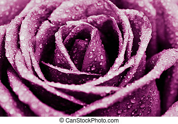 rose kwam op, flower.