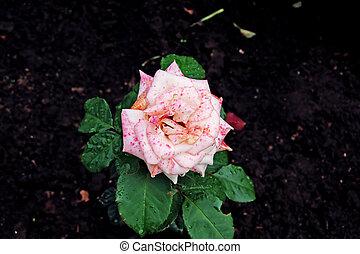 rose kwam op, gevlekt