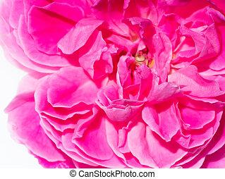 rose kwam op, kroonbladen, thee