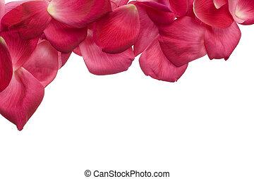 rose kwam op, kroonbladen, vrijstaand, op wit