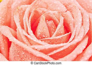 rose kwam op, ondiep, bloem, depth.