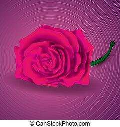 rose kwam op, op, purpere achtergrond, voor, velentine's, dag
