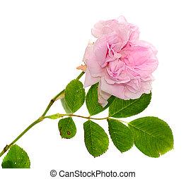 rose kwam op