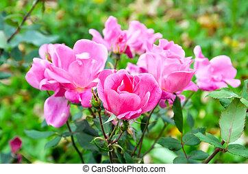 rose kwam op, struik