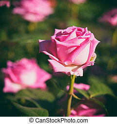 rose kwam op, tuin