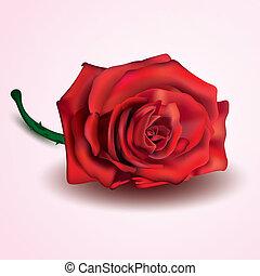 rose kwam op, vrijstaand, achtergrond, wit rood