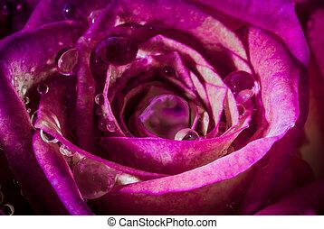 rose kwam op, water, droplets