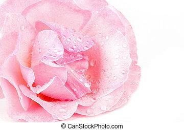 rose kwam op, waterdrops, macro