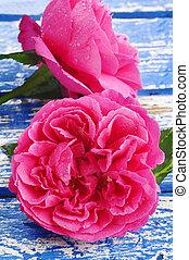 rose kwam op, waterdrops