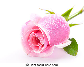 rose kwam op, witte , vrijstaand, achtergrond