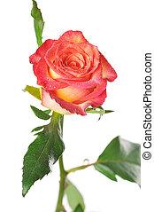 rose, laisse, arrière-plan vert, blanc